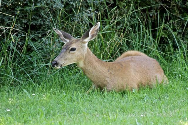 Port Townsend deer